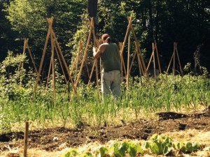 Setting tomato teepees